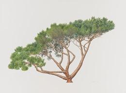 Pinus Pinea painting by Masumi Yamanaka. Credit: RBG Kew