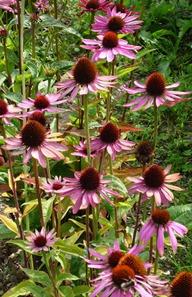 Echinacea - Copyright Matthew Haddon