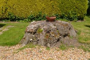 Lime Tree Stump