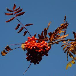 Copyright_matt_haddon_gardens_Autumn berries