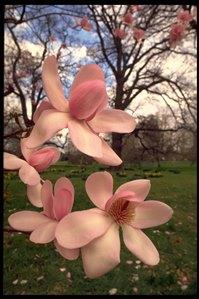Flower of Magnolia at Royal Botanic Gardens, Kew. Credit: RBG Kew