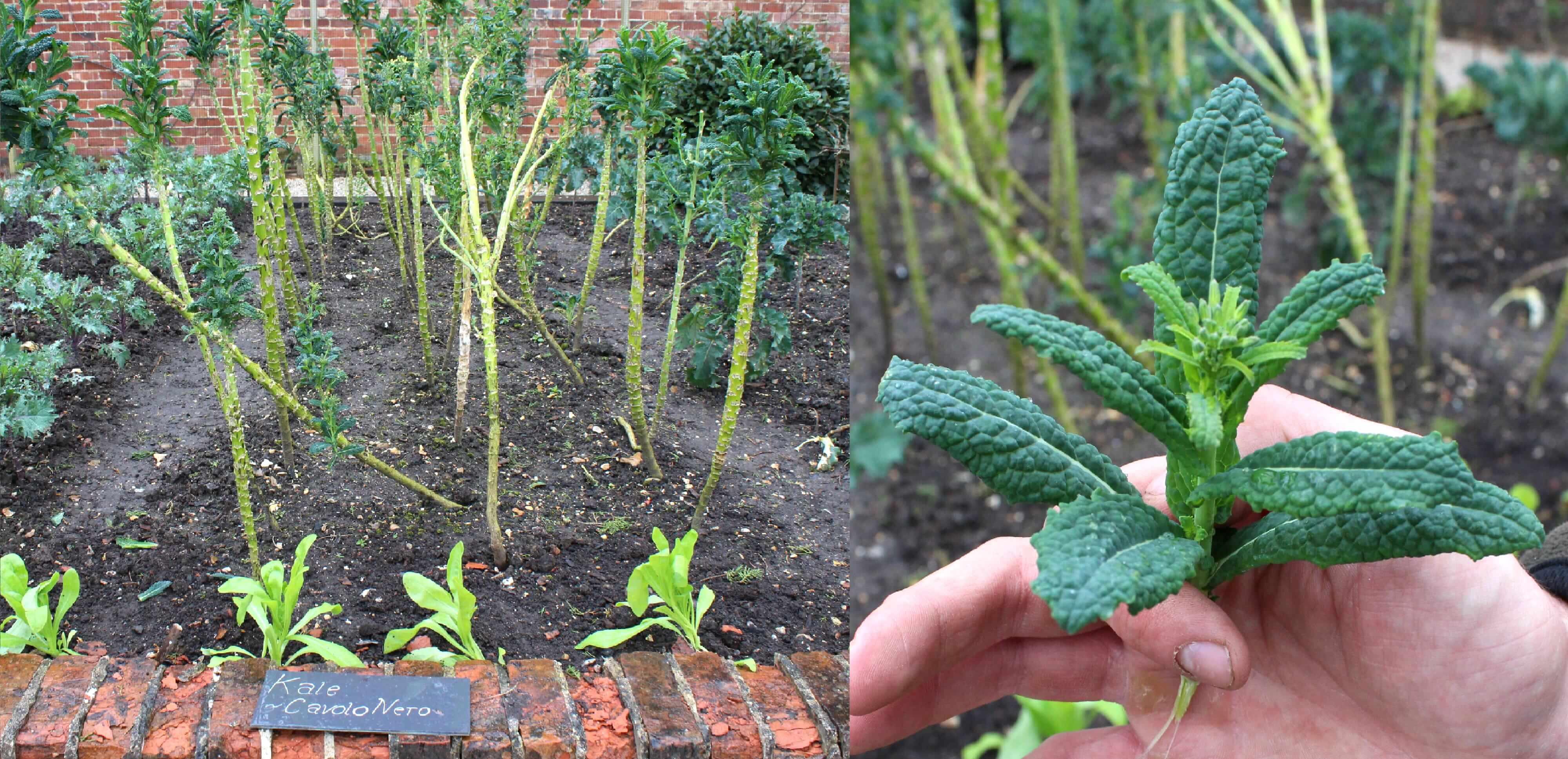 Cavolo nero Kale