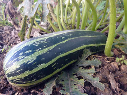 Courgette or Marrow?