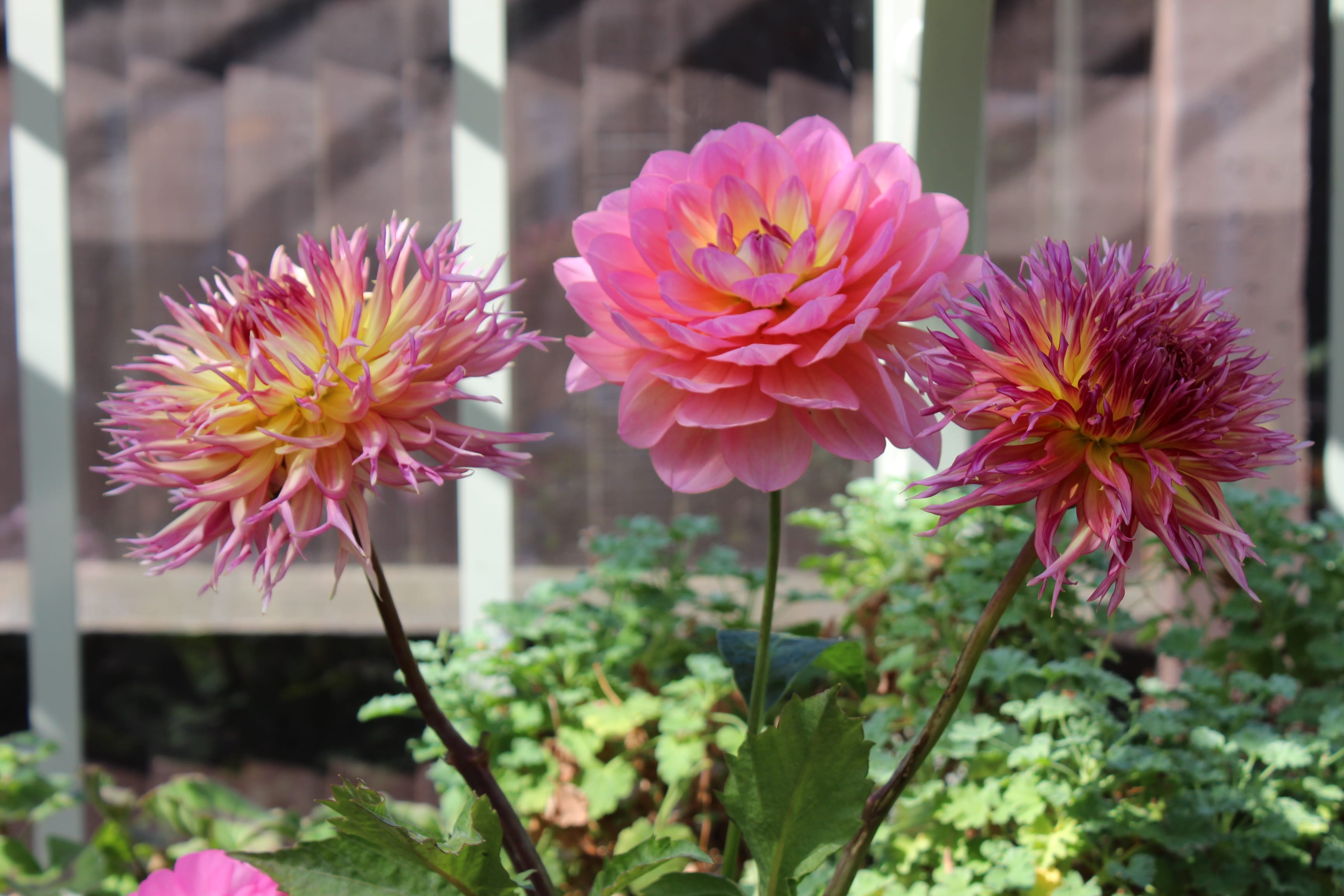 Award-Winning Dahlias
