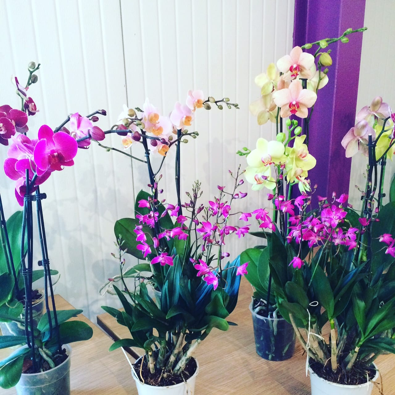 Alitex Orchid Talk from McBean's