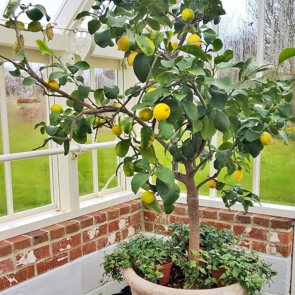 Lemon Tree in the Thomas Messenger Greenhouse
