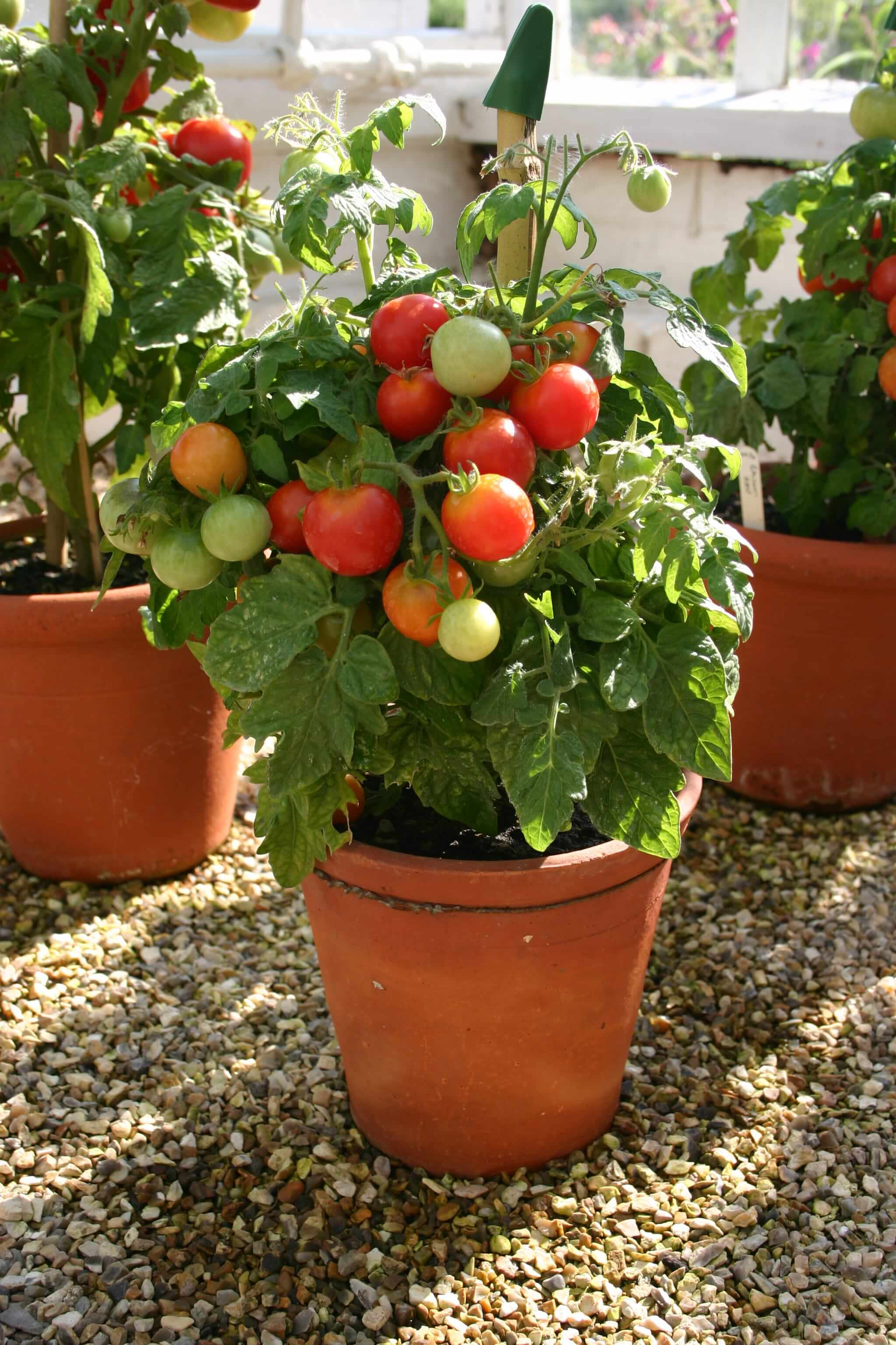 Small determinate tomato