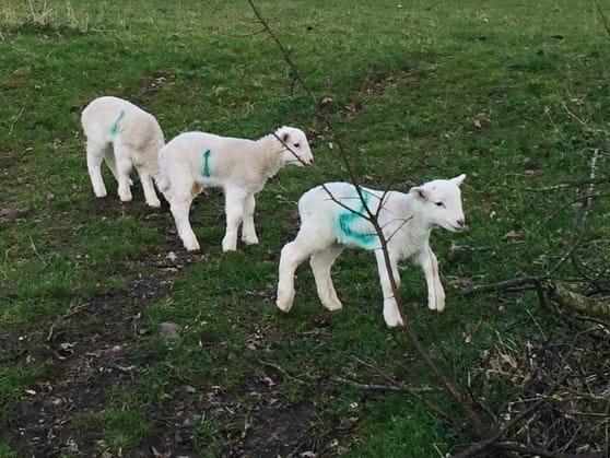 Wiltshire Lambs