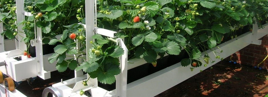 Bespoke strawberry bench for inside greenhouse