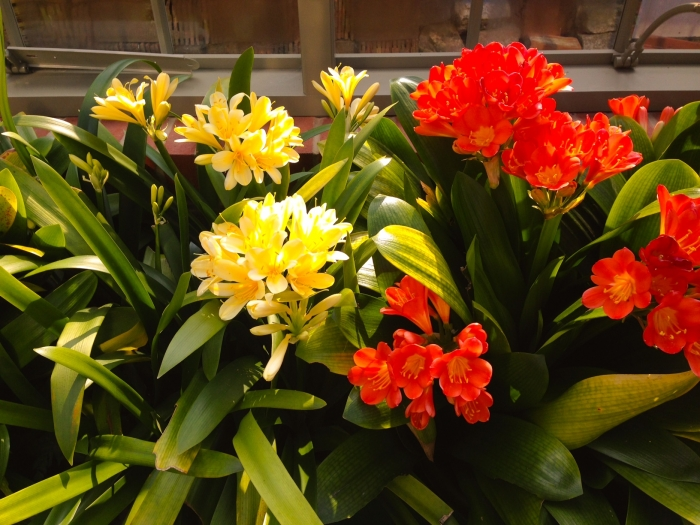Red and yellow Clivias in Alitex freestanding messenger greenhouse
