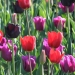 Daily News Tulips at Arundel Castle