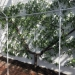 Growing Fruit Trees - peach tree against greenhouse wall