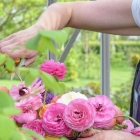 Caring for your Roses