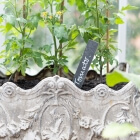 Tomato seedlings in pot with label