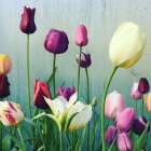 Tulips by The Land Gardeners